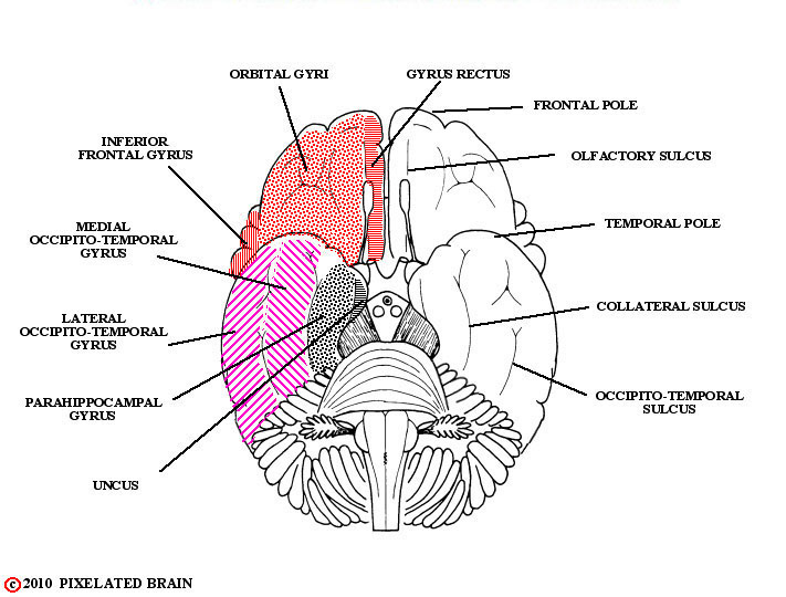 gyri and sulci, cerebral hemisphere, basal view