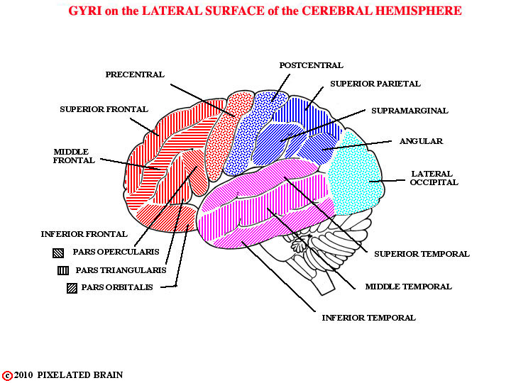 gyri - lateral surface of cerebral hemisphere