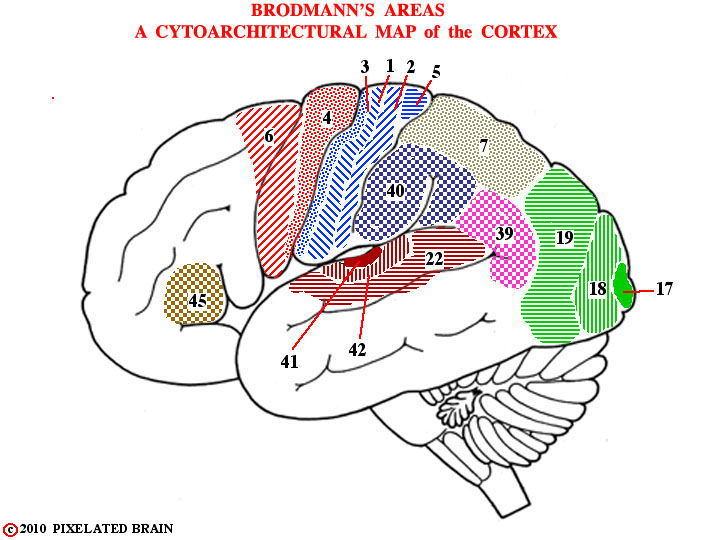 Brodmann's areas - a cytoarchitectural map of the cortex