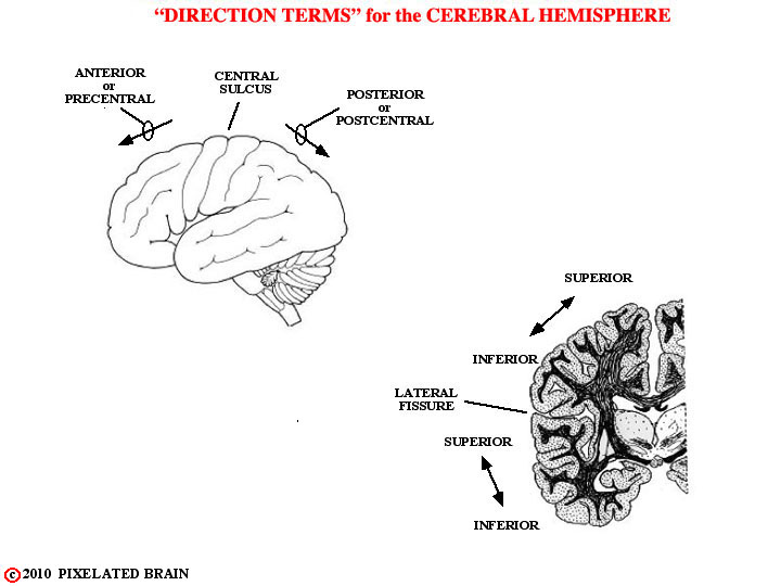 direction terms for the hemisphere: anterior, posterior, superior, inferior