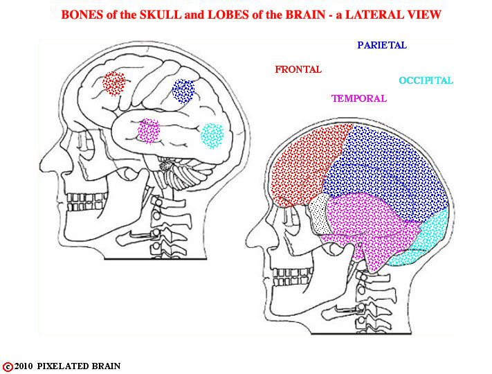 bones of skull and lobes of brain hemisphere - a comparison of lateral views