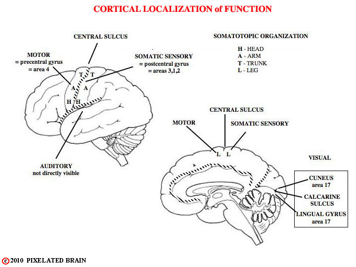 cortical localization of function