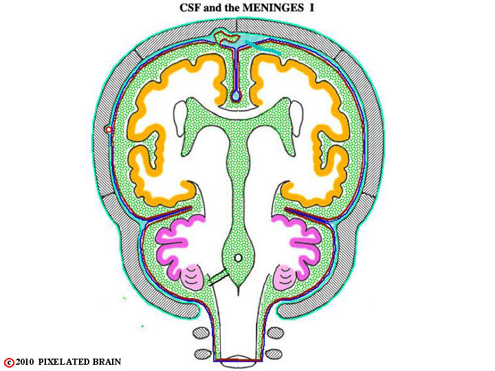 CSF and the meninges
