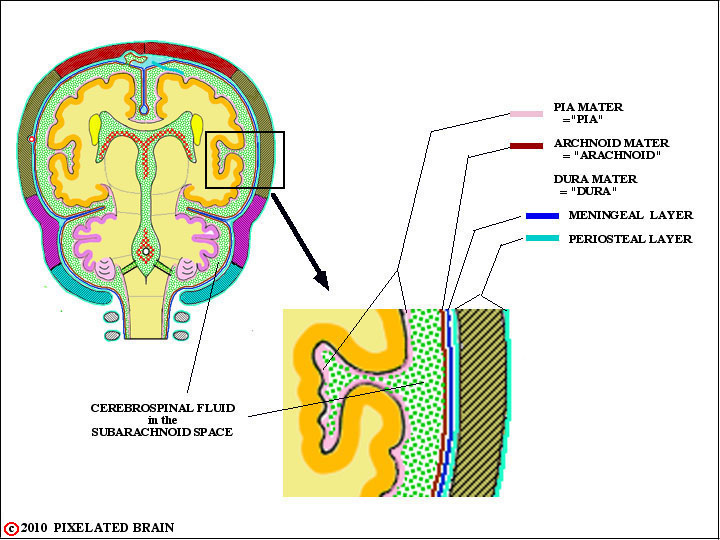 the spinal epidural space