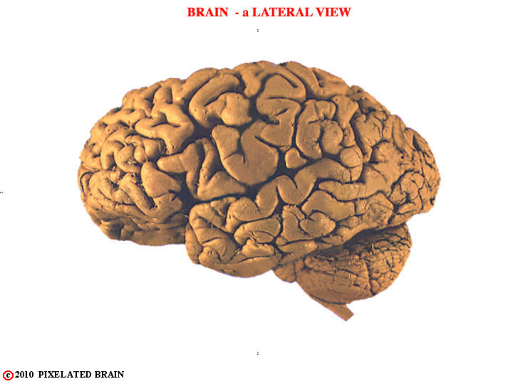 brain - a lateral view