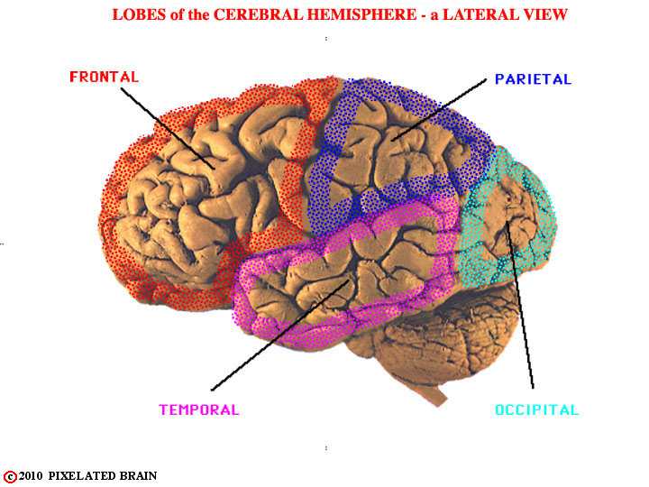 lobes of the cerebral hemisphere - a lateral view