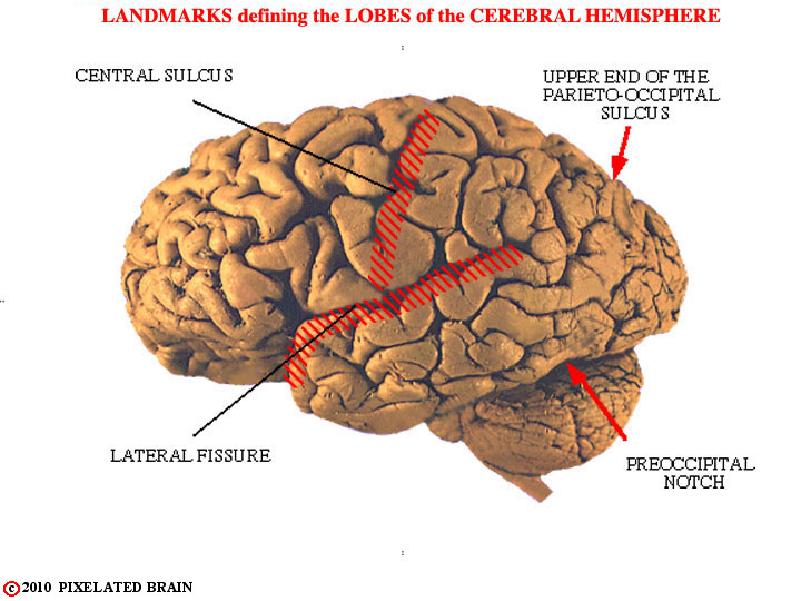 landmarks on the gross brain which define the lobes of the hemisphere