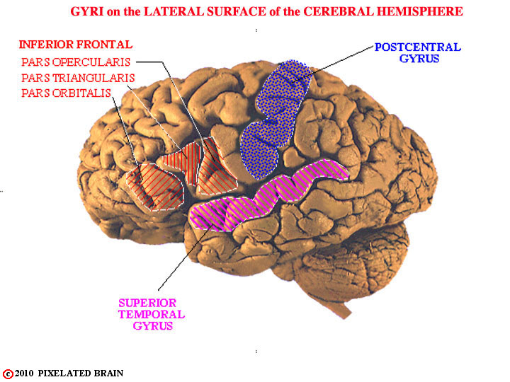 gyri-lateral surface, cerebral hemisphere, gross brain
