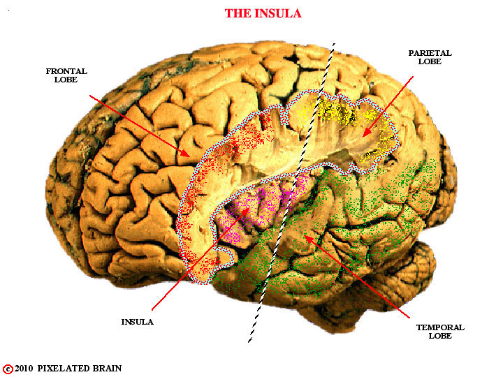 the insula, gross brain
