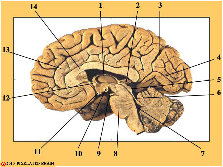 Mid-Sagittal View of Gross Brain