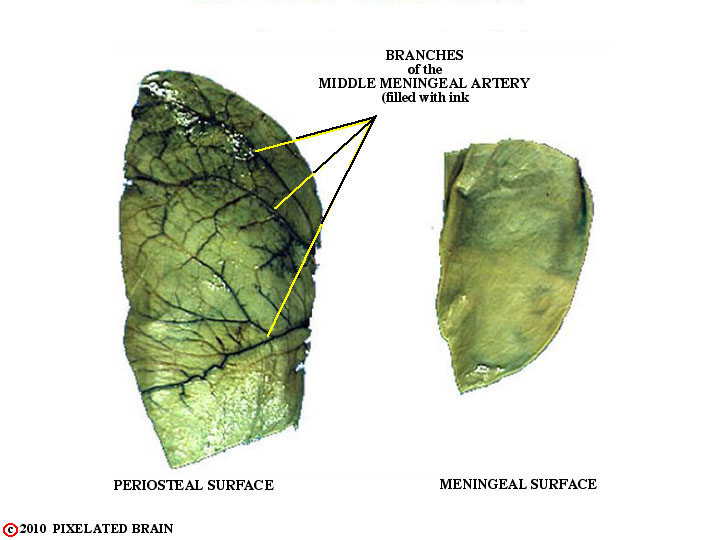 dura - outer and inner surfaces, and the middle meningeal artery
