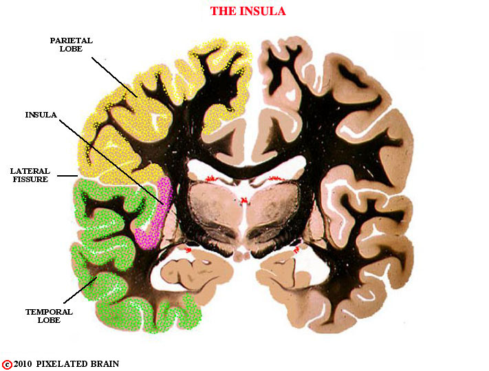 the insula, frontal section of hemisphere